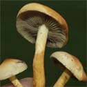 Mushrooms/Hatsvampe